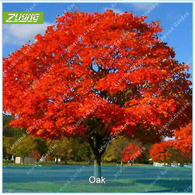 5 LAUREL OAK TREE Quercus Hemisphaerica Native aka Darlington Coastal Sand Seeds