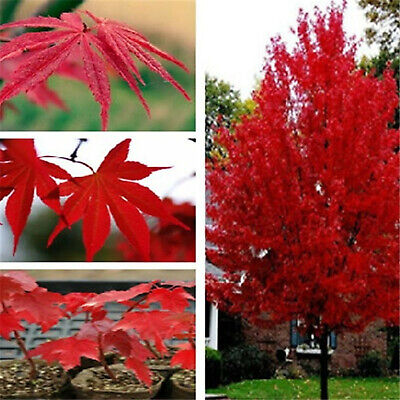 Japanese Maple Tree Seeds Plants Perennial Bonsai Diy & Rare Home Garden 100pcs