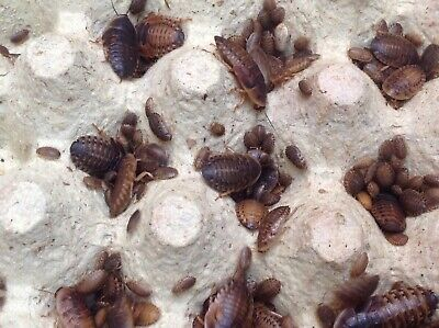 Dubia roaches,100 small,5-10mm,+10%, Free delivery, fits Through Letterbox £7.99