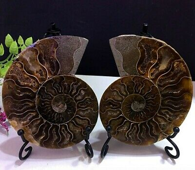 185g Natural A Pair of Ammonite Fossils Slice Nautilus Jade Shell Specimen+Stand