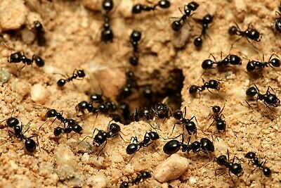 Harvester ants (messor barbarus) Queen with 5-10 workers with brood