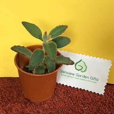 KALANCHOE TOMENTOSA /'/'Chocolate Soldier/'/' 2 x Hojas Leaf Cuttings Succulent