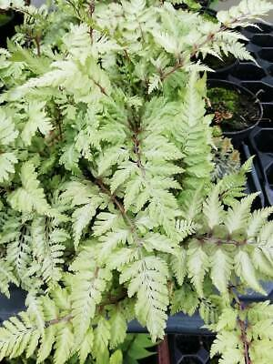 Japanese Painted Fern plug plants / pot plants - Athyrium niponicum Metallicum
