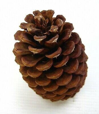 """Pine Cone Extra Large 6"""" Bowl Display Free Standing Christmas Brown"""