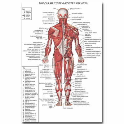10699 Human Anatomy Muscular System Poster Medical CA