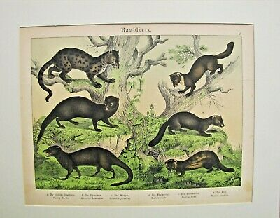 19th. Century German Hand Colored Print from a Book - MAMMALS
