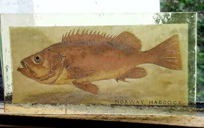 Stained Glass Norway Haddock fish Kiln fired transfer / painted  pane! (relisted