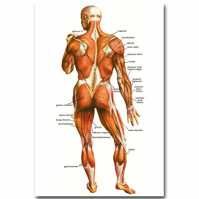11916 Human Anatomy Muscular System Poster Medical CA