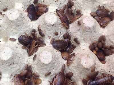 Dubia Roaches 100 Medium10-20mm+10%. FREE delivery Fits Through Letterbox £15.99