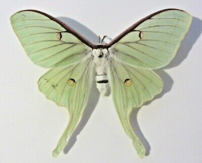 ONE REAL A1 GREEN ACTIAS LUNA MOTH SATURNIIDAE UNMOUNTED WINGS CLOSED Papered