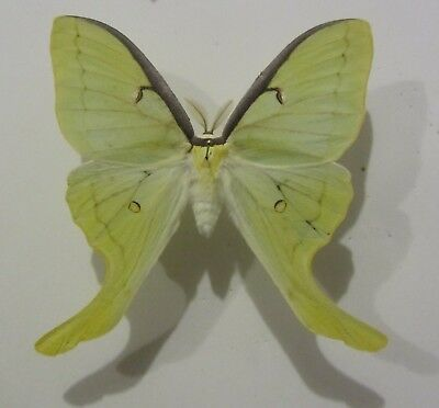 WHOLESALE LOT OF 10  Actias Luna, Ex Pupa - GREEN MOTH UNMOUNTED WINGS CLOSED