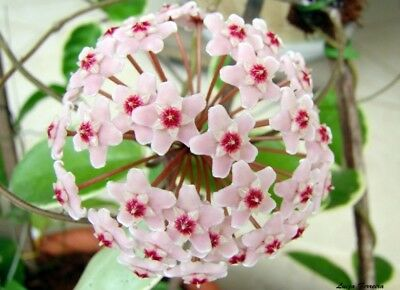 Hoya Krimson Queen Small Rooted Cutting In 8Cm Pot House Plant