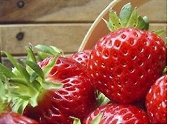 60 x STRAWBERRY PLANTS MIX 3    BARE ROOTED PRE ORDER  15 VARIETIES FREE POSTAGE