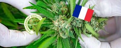 Chanvre-Hemps-Sativa-Sativa-25-graines-Seeds-Bio-origine-FRANCE