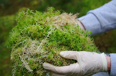 5Kgs FRESH SPHAGNUM MOSS, Loose, Best Quality, Sold Moist, for Xmas Wreaths