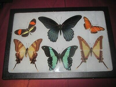 """6 real mounted butterflies framed 8x12"""" riker  mount collection #lep 54a"""