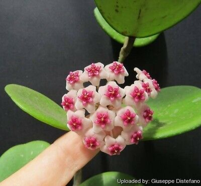Hoya Obovata  Small Rooted Cutting In 6-8 Cm  Pot House Plant