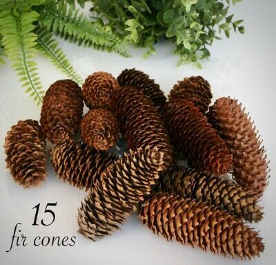 15 FIR PINE CONES Extra large 15cm to 10cm Florists Craft Decorative Dried Home