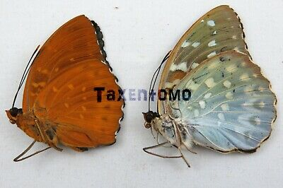 Sphaenognathus giganteus PAIR NICE Taxidermy REAL Unmounted Insect