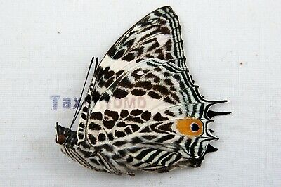 Adelpha iphiclus Folded Butterfly Taxidermy REAL Unmounted