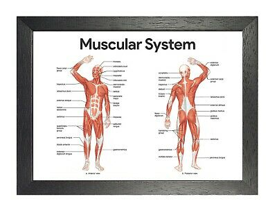 Human Muscular System Photo Posterior Anterior Anatomy Picture Science Poster