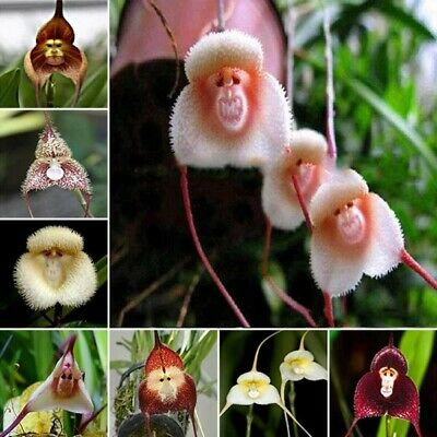 99 Seeds MONKEY FLOWER LILY Plant Tree House Herb Garden MIXED COLOR ORCHID US