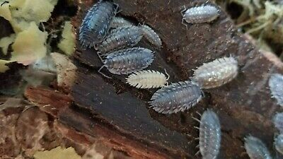 Live Skirted Isopods (Oniscus asellus)