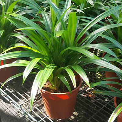 199 seeds Fragrant Grass herbal Pandan plant MIXED Fragrant Spices survival US