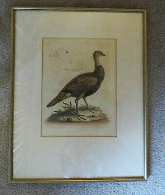 George Edwards 1760 Rare Signed Print Rare Pheasant/Turkey Hybrid Exc Condition