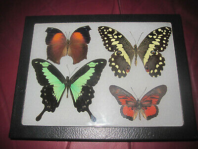 """4 real mounted butterflies framed 6x8"""" riker  mount collection #68-5"""
