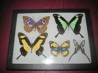 """5 real mounted butterflies framed 6x8"""" riker  mount collection #68-6"""