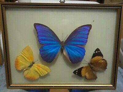 3 Vintage Real Framed Butterflies Mounted Convex Glass. Beautiful