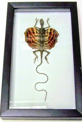 REAL RED FLYING LIZARD DRACO TAXIDERMY IN  SHADBX FRAME