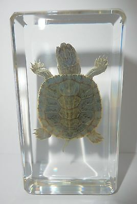 Farmed Turtle Specimen - Red-eared Slider (in 73x40x20 mm clear paperweight)