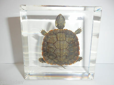 Red-eared Slider Turtle (Farmed) in Clear Square Paperweight -Education Specimen
