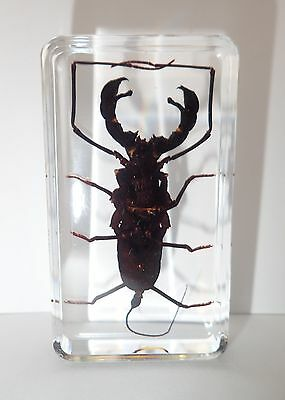 Whip Scorpion (Typopeltis crucifer) in Clear Block - Education Insect Specimen