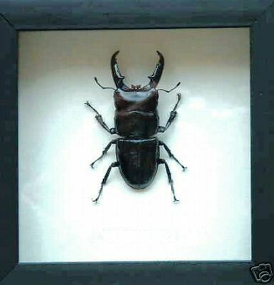 Stag  Beetle In Stylish Black Shadowbox Frame