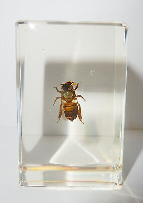 Honey Bee (Apis mellifera) in Clear Paperweight - Education Insect Specimen