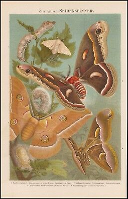 Farb Lithografie Seidenspinner Raupe Maulbeerspinner Bombyx 1890 Original