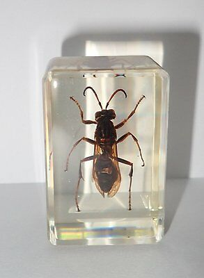 Yellow Jacket Wasp (Yellow Paper-Wasp) Insect Specimen :Clear Lucite