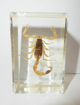 Golden Scorpion Mesobuthus martensii in small Block Education Insect Specimen