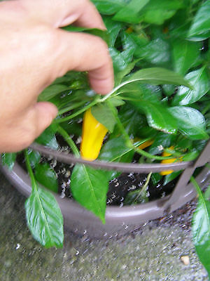 Ceyenne *HOT* Pepper Plant 25 SEED  datil/habanero hybrid Compact