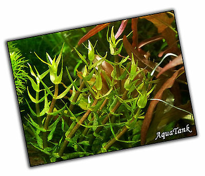 Gratiola Viscidula - Live Aquatic Aquarium Fish Tank Plants Rare