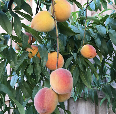 Apricot Fruit Rare Seeds = Exotic = Organic =  Wild = Super Sweet