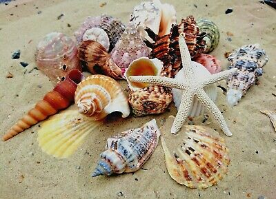 Starfish with Mixed Shells (20 Shells) Sea Shells, Beach Seashells Craft Display