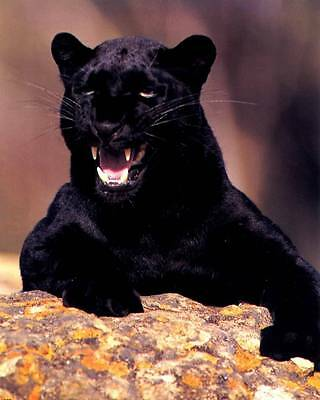 Snarling Black Panther: 8x10 In. Wildlife Art Print