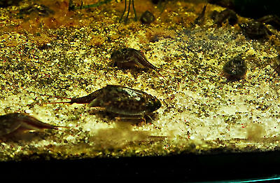 Triops Cancriformis prehistoric crabs with about 50 eggs