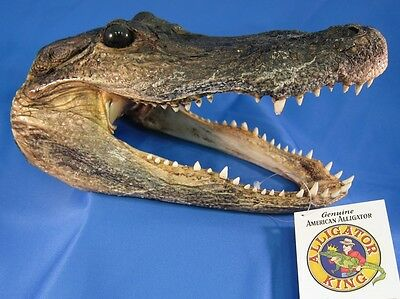 "Alligator Head 5-6"" Genuine Real Gator American Taxidermy Reptile FREE SHIPPING"