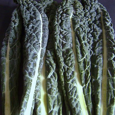 CAVOLO NERO (BORECOLE) - 4000 Seeds [The Dinosaur Kale or Tuscany Black Cabbage]