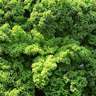 KALE (BORECOLE) - DWARF GREEN CURLED - 8,000 Seeds [..a Fashionable Superfood]